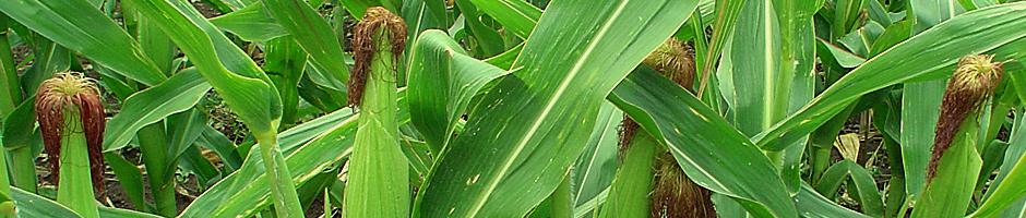 presentacion-maiz