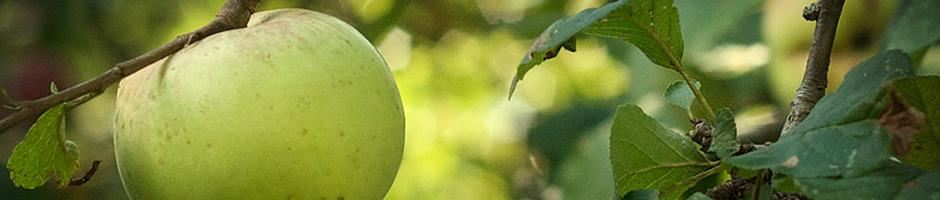 presentacion-manzana-verde