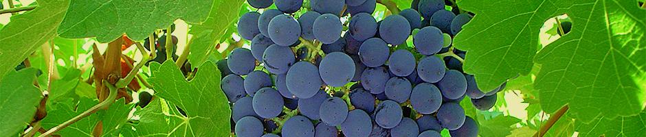 presentacion-uva-azul
