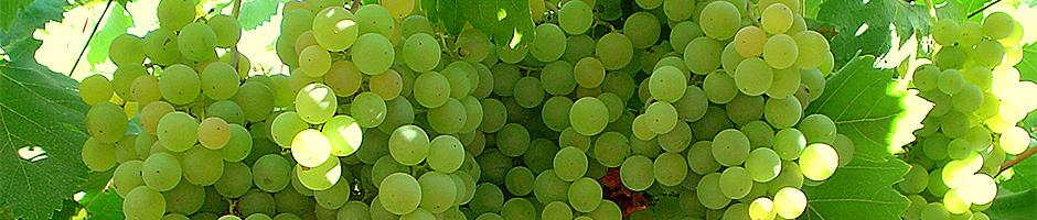 presentacion-uva-verde